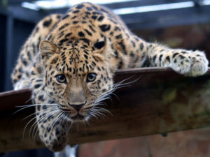 Leopard_in_the_Colchester_Zoo