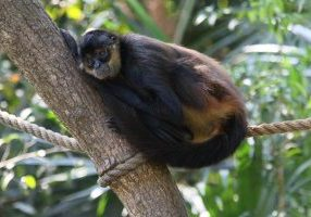 Ateles_geoffroyi_Belize_Zoo_04