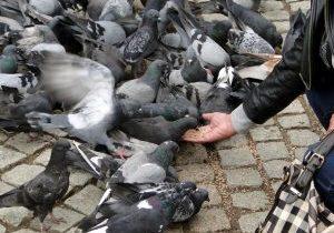Feeding_Pigeons_(8368884478)
