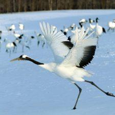 white-crane-bird